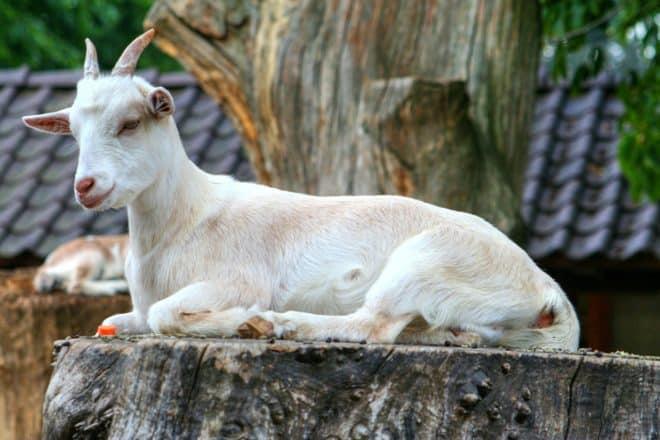 Une chèvre. Image d'illustration.