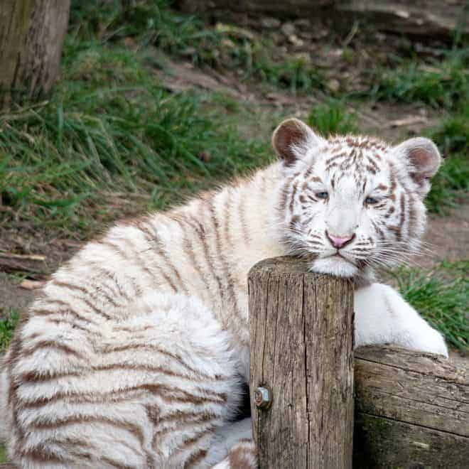 Un bébé tigre blanc. Image d'illustration.