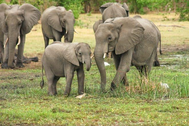 Illustration. Un troupeau d'éléphants.