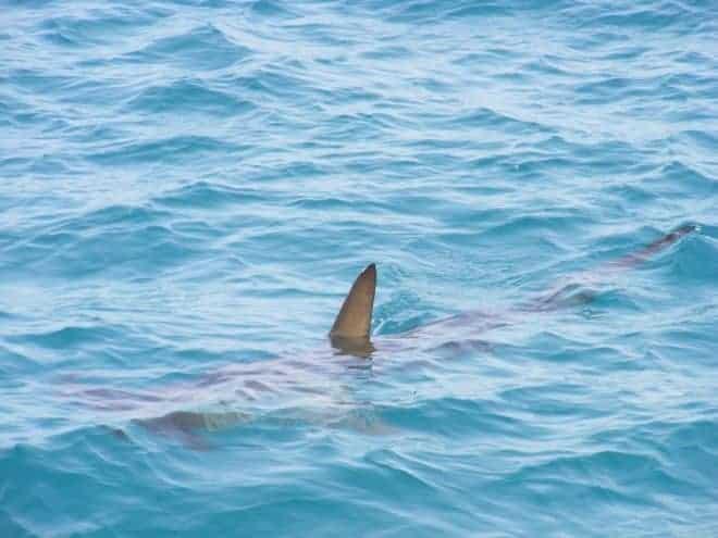 Illustration. Un aileron de requin.