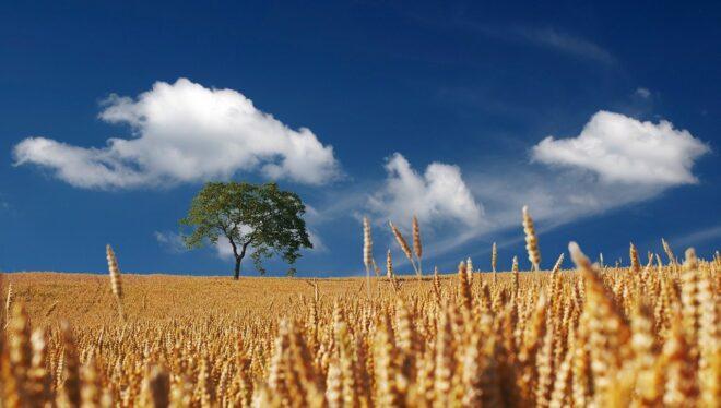 Un champ de maïs. Image d'illustration.