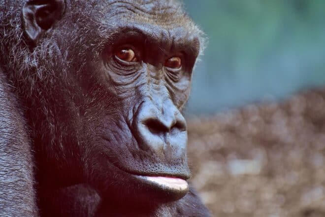 Un gorille. Image d'illustration.