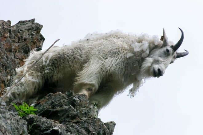 Une chèvre de montagne. Image d'illustration.